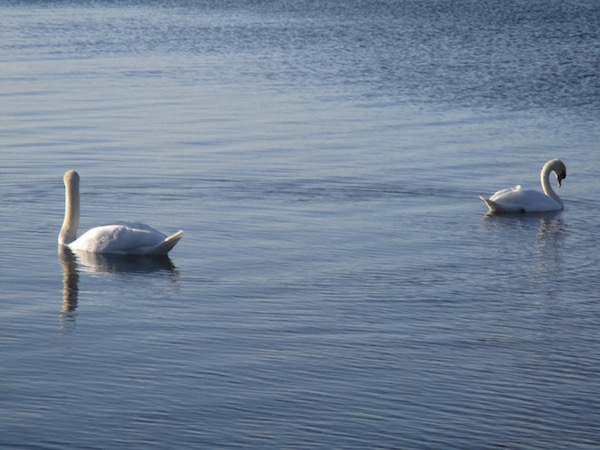 Swans on the Lake in Mullingar